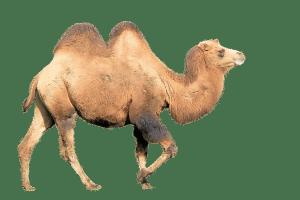 Camel traffic